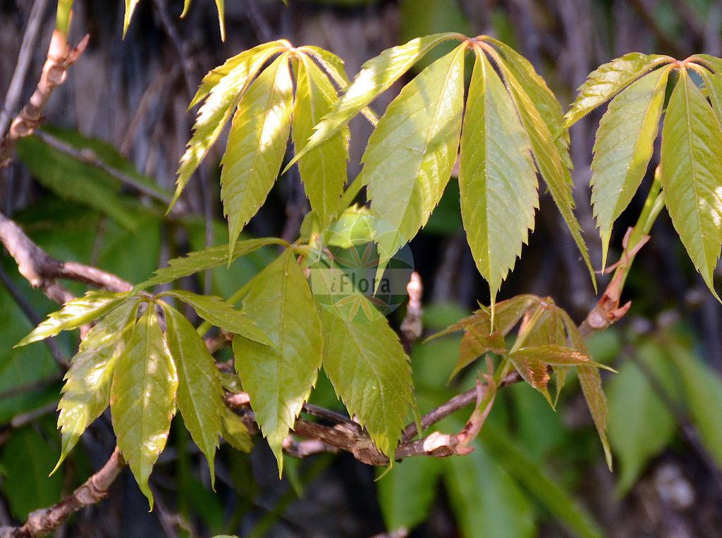 Parthenocissus quinquefolia (Selbstkletternde Zaunrebe - Virginia-creeper) | Foto von Parthenocissus quinquefolia (Selbstkletternde Zaunrebe - Virginia-creeper). Das Foto wurde in Marburg, Hessen, Deutschland aufgenommen. ---- Photo of Parthenocissus quinquefolia (Selbstkletternde Zaunrebe - Virginia-creeper).The picture was taken in Marburg, Hesse, Germany.
