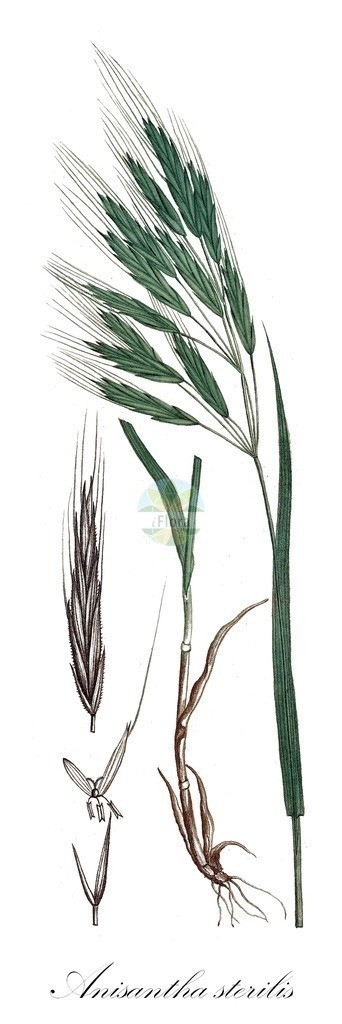 Historical drawing of Anisantha sterilis (Barren Brome) | Historical drawing of Anisantha sterilis (Barren Brome) showing leaf, flower, fruit, seed