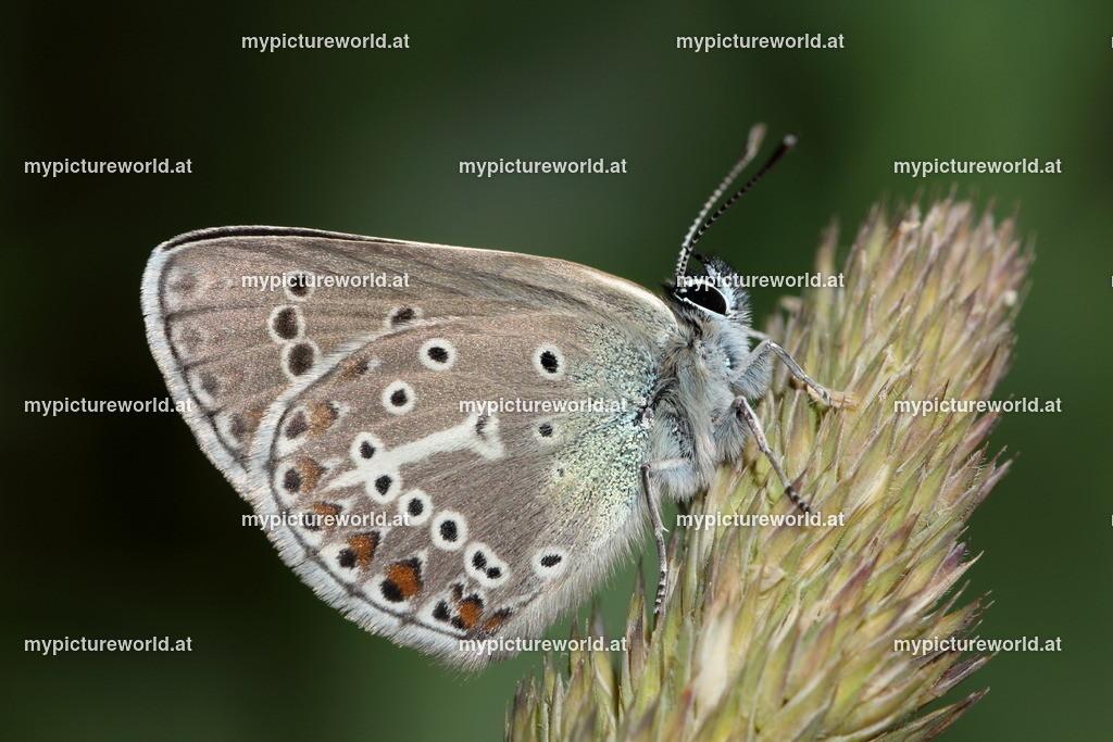 Aricia eumedon-004