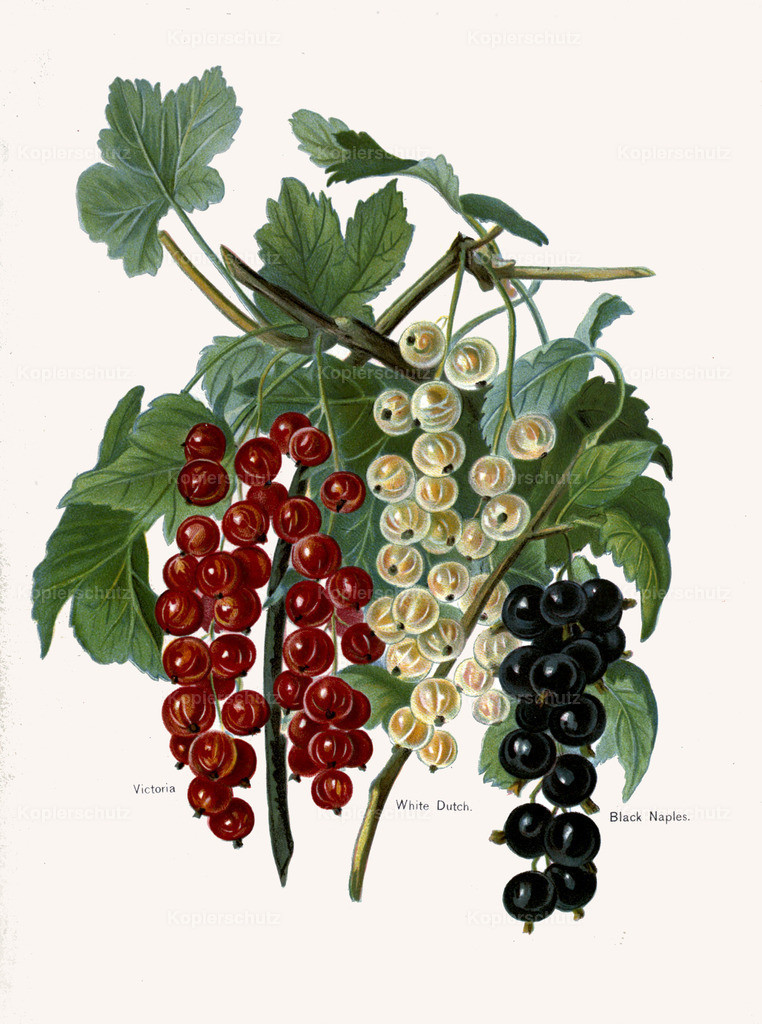 Fruit-Growers-Guide-1890-May-Rivers-Obst-Früchte (12)