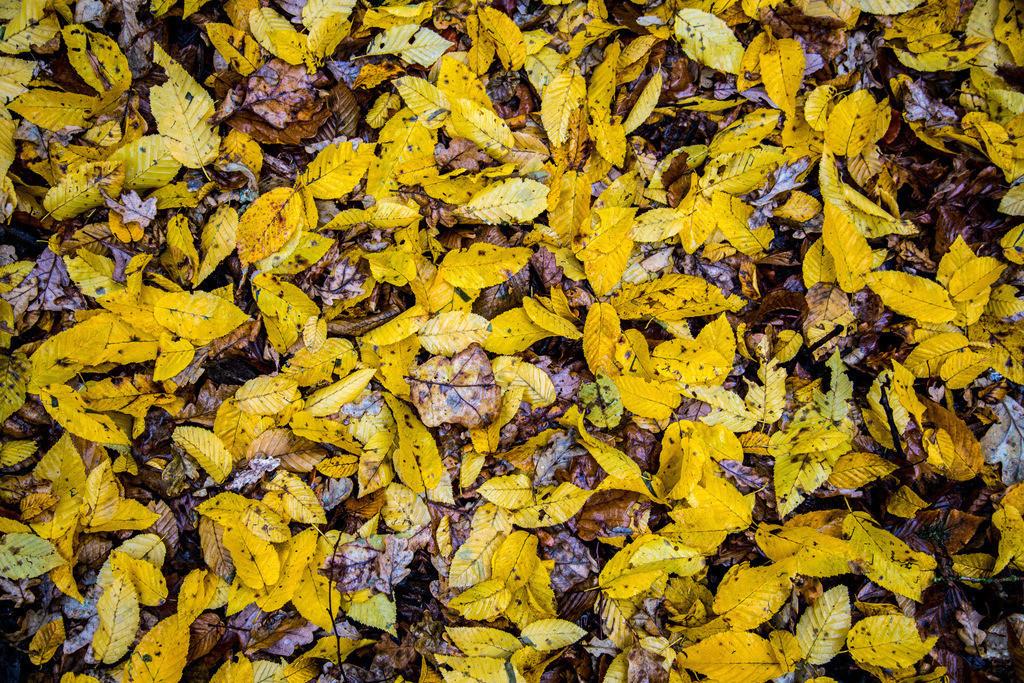 JT-121118-509 | Herbst, verwelkte Blätter, Buche