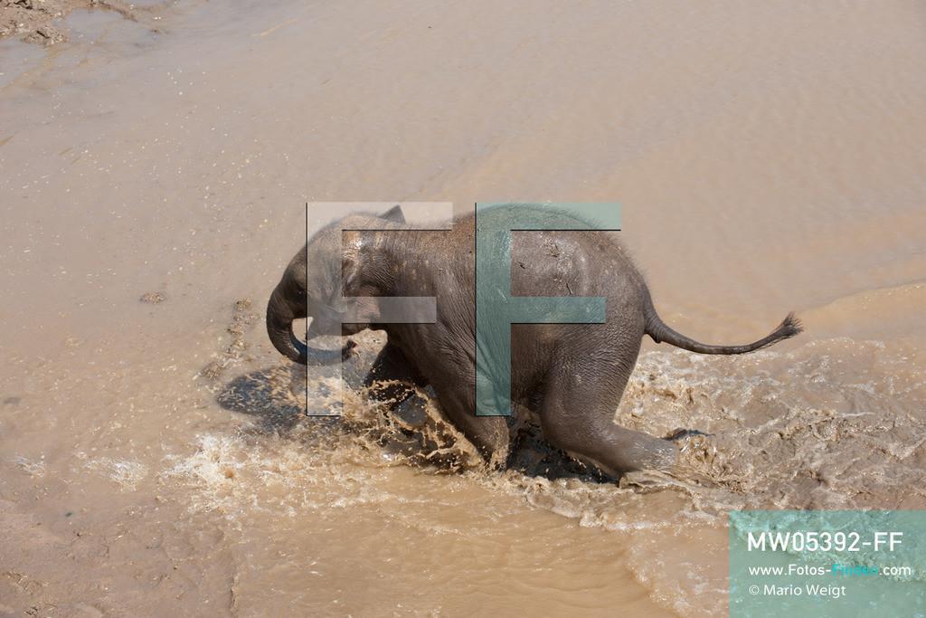 MW05392-FF | Thailand | Chiang Mai | Reportage: Elephant Nature Park | Ausgelassen genießt ein Elefantenbaby das Schlammbad. Die thailändische Tierschützerin Sangduen Lek Chailert hat ein großes Herz für Elefanten. Im Jahr 1995 gründete sie den Elephant Nature Park am Mae-Taeng-Fluss, nördlich von Chiang Mai. In diesem natürlichen Refugium leben über 30 Dickhäuter. Elefantenführer, Tierärzte und freiwillige Helfer kümmern sich um die meist ehemaligen Arbeitselefanten.   ** Feindaten bitte anfragen bei Mario Weigt Photography, info@asia-stories.com **