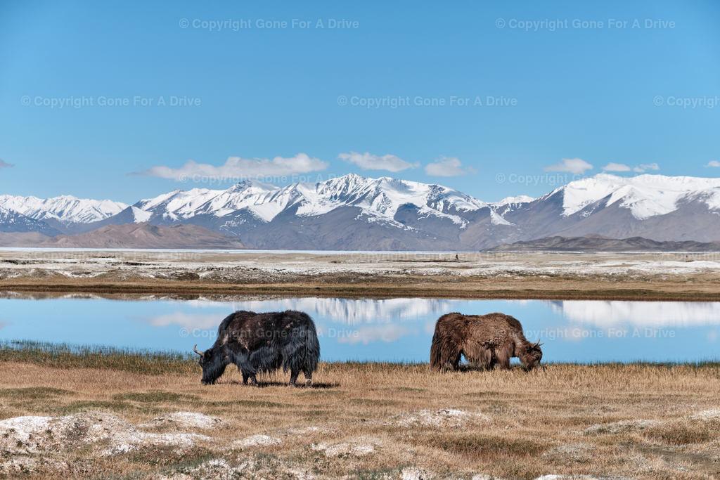 Tadschikistan | Zwei Yaks am Karakul See auf etwa 4.000 m Höhe am Pamir Highway.
