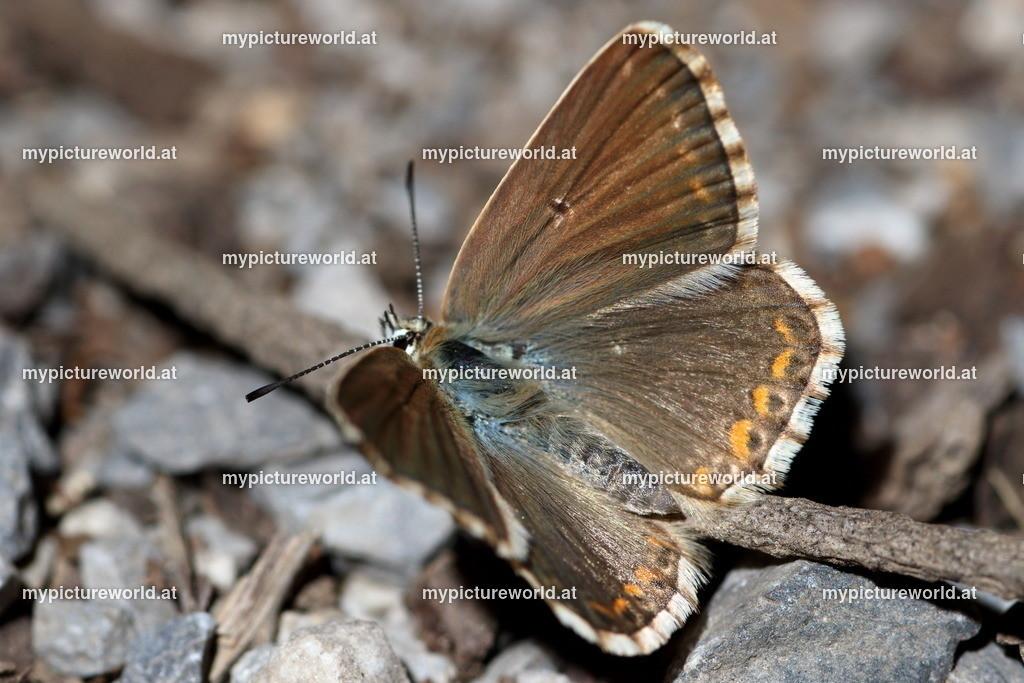 Polyommatus coridon-010