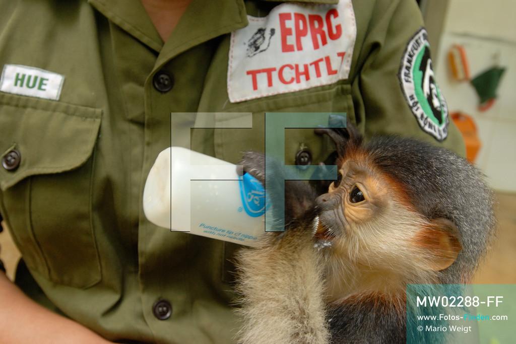 MW02288-FF | Vietnam | Provinz Ninh Binh | Reportage: Endangered Primate Rescue Center | Affenbaby (Rotgeschenkliger Kleideraffe) erhält von einer Tierpflegerin Milch. Der Deutsche Tilo Nadler leitet das Rettungszentrum für gefährdete Primaten im Cuc-Phuong-Nationalpark.   ** Feindaten bitte anfragen bei Mario Weigt Photography, info@asia-stories.com **