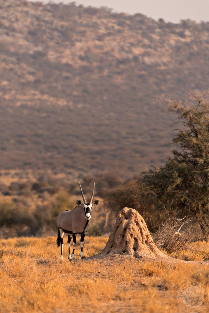 Oryxantilope neben Termitenhügel