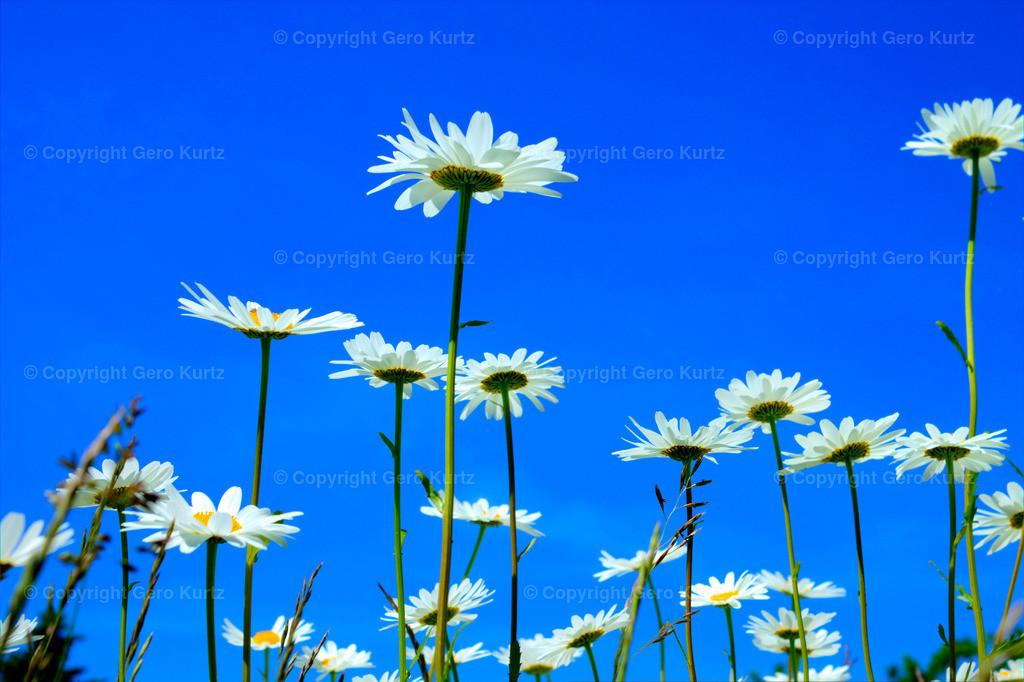 Daisies and blue sky - Margeriten und blauer Himmel
