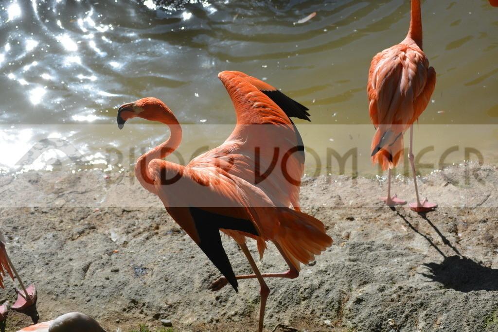 Flamingo Bilder | Rote Flamingo Bilder Italien