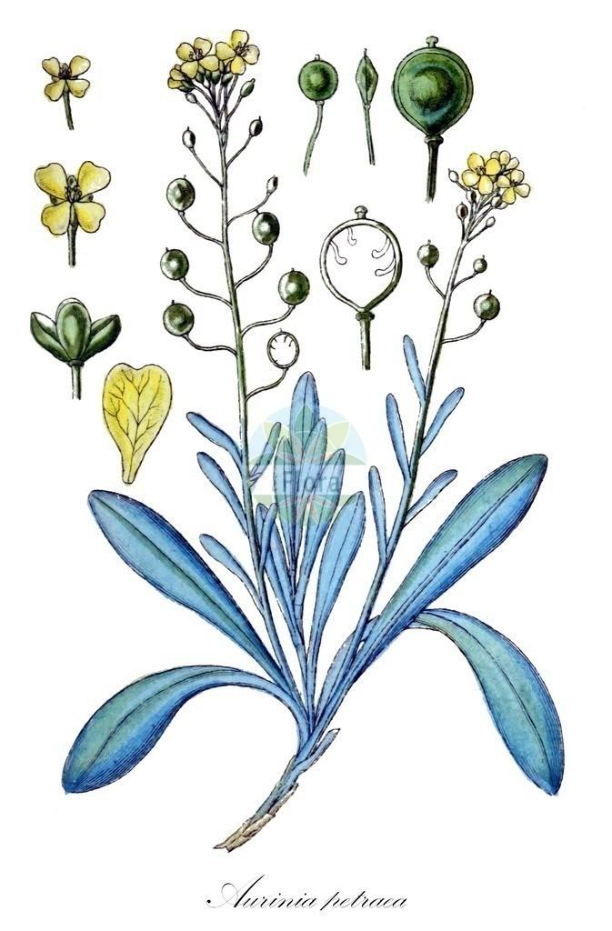 Historical drawing of Aurinia petraea (Alison) | Historical drawing of Aurinia petraea (Alison) showing leaf, flower, fruit, seed