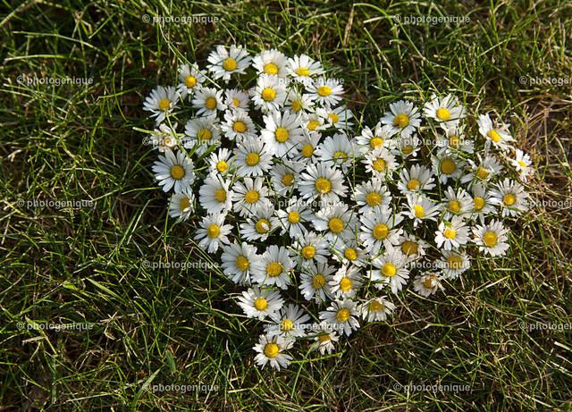 ein Herz aus Gänseblümchen   viele Blüten von Gänseblümchen liegen in Herz-Form auf einer grünen Wiese bei Tageslicht