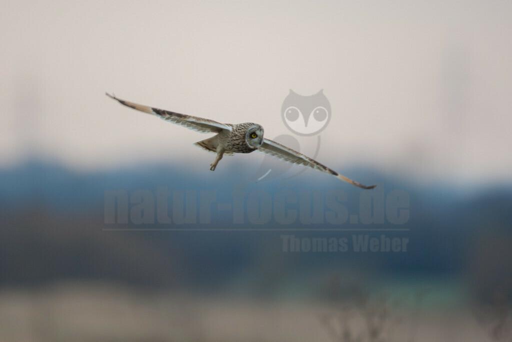20080324_08270716921 | Die Sumpfohreule ist eine Vogelart aus der Gattung der Ohreulen innerhalb der Familie der Eigentlichen Eulen. Ihre kurzen Federohren sind meist angelegt und somit nicht sichtbar.