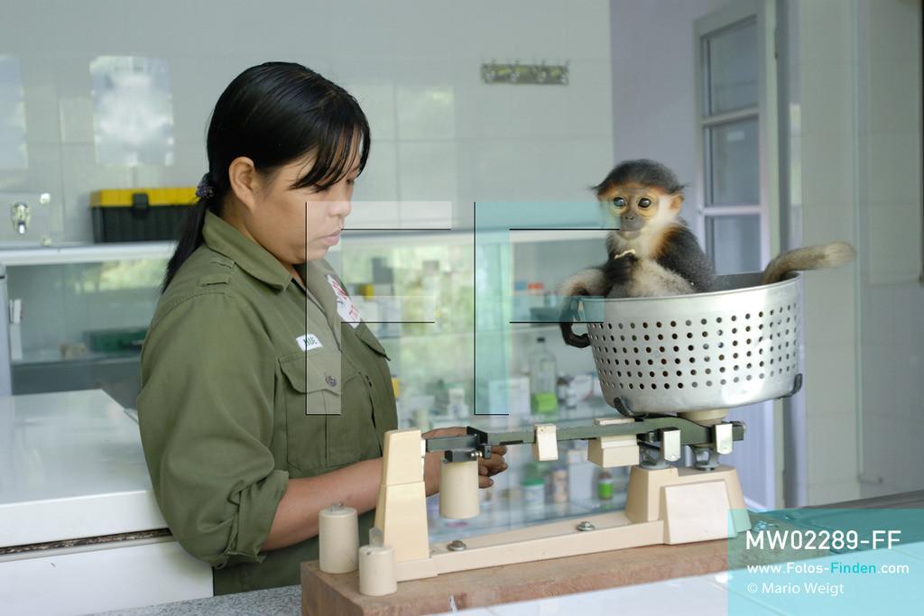 MW02289-FF | Vietnam | Provinz Ninh Binh | Reportage: Endangered Primate Rescue Center | Das Affenbaby (Rotgeschenkliger Kleideraffe) wird einmal am Tag gewogen. Der Deutsche Tilo Nadler leitet das Rettungszentrum für gefährdete Primaten im Cuc-Phuong-Nationalpark.   ** Feindaten bitte anfragen bei Mario Weigt Photography, info@asia-stories.com **