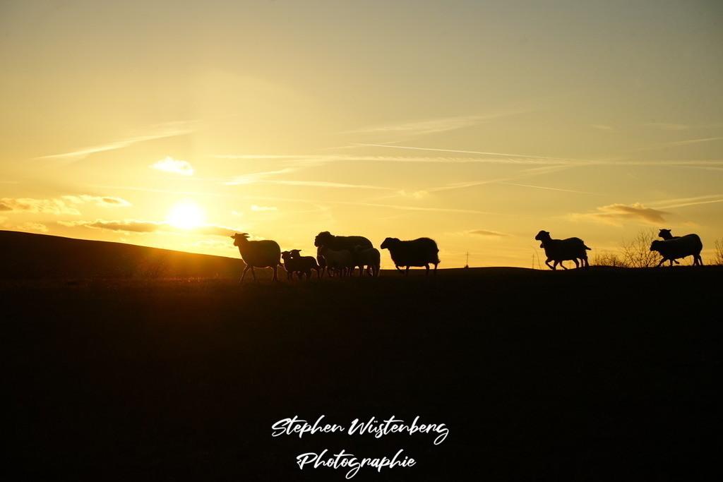 Schafe und Ziegen im Sonnenuntergang | Schafe und Ziegen im Sonnenuntergang am Inkelthalerhof bei Rockenhausen