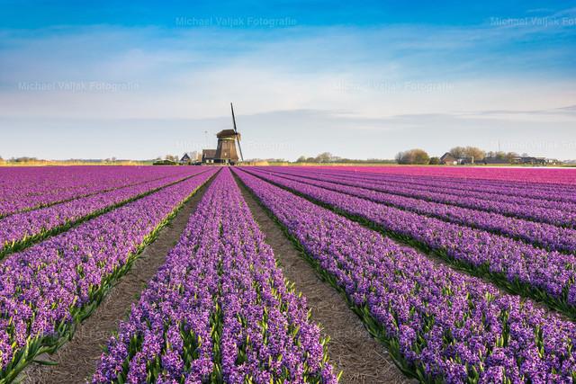 Frühling in Holland | Ein blühendes Hyazinthenfeld in Holland mit einer typisch holländischen Windmühle.