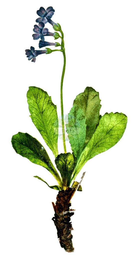 Primula latifolia   Historische Abbildung von Primula latifolia. Das Bild zeigt Blatt, Bluete, Frucht und Same. ---- Historical Drawing of Primula latifolia.The image is showing leaf, flower, fruit and seed.