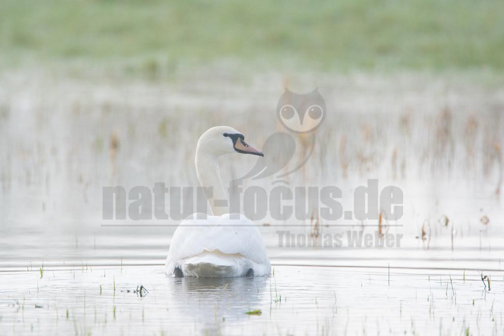 20080322_08110416408 | Der Höckerschwan ist eine Vogelart, die innerhalb der Entenvögel zur Gattung der Schwäne und zur Unterfamilie der Gänse gehört. Als halbdomestizierter Vogel ist er heute in weiten Bereichen Mitteleuropas beheimatet.