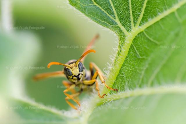 Wespe auf einem Blatt   Emsig krabbelt die kleine Wespe auf einem Sonnenblumenblatt herum, für einen kurzen Moment hält sie Inne als wolle sie