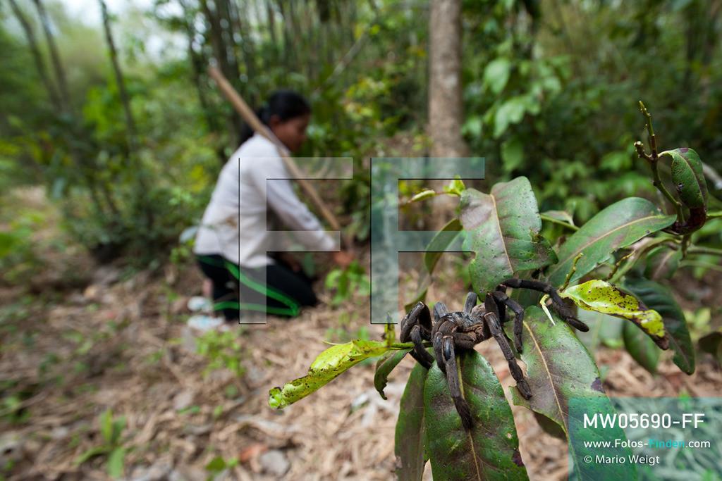 MW05690-FF | Kambodscha | Provinz Kampong Cham | Skoun | Reportage: Phektra verkauft Vogelspinnen | Vogelspinnenjagd. Die 12-jährige Phektra lebt im Dorf Skoun, das für seine schwarzen frittierten Vogelspinnen bekannt ist. Phektra fängt und sammelt die Spinnen im Wald und verkauft die frittierten Achtbeiner an der Bushaltestelle.   ** Feindaten bitte anfragen bei Mario Weigt Photography, info@asia-stories.com **