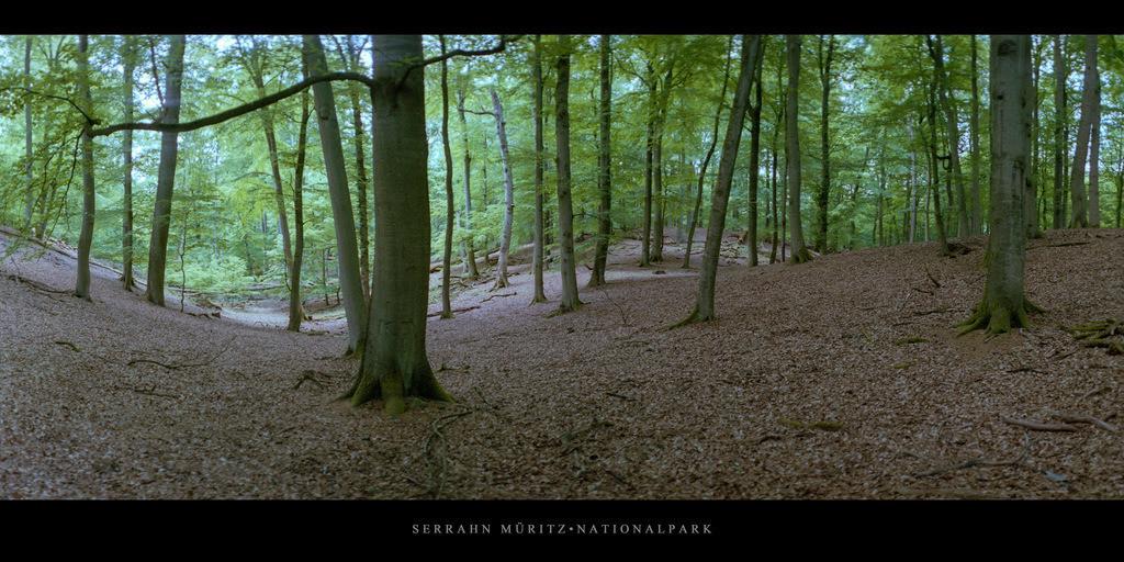 Serrahn Müritz-Nationalpark   Buchen im Buchenwald und Weltnaturerbe Serrahn im Müritz Nationalpark