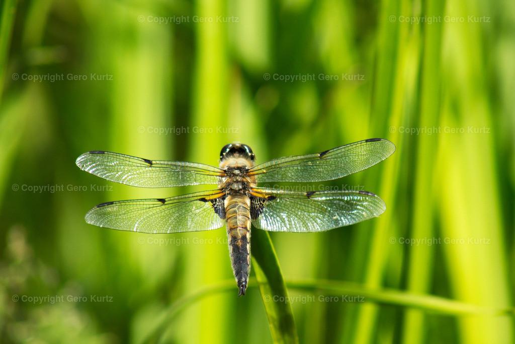 Dragonfly on a blade of grass - Libelle auf einem Grashalm
