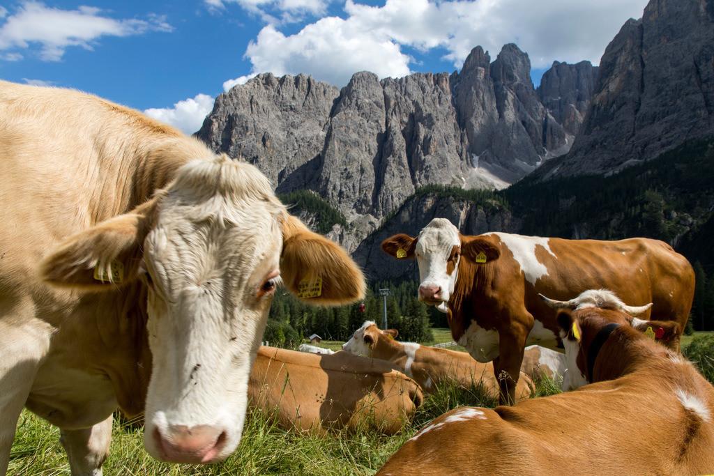 JT-180713-085 | Südtirol, Trentino, Italien,  Milchkühe auf einer Weide am Grödner Joch, Gebirgspass in Südtirol,