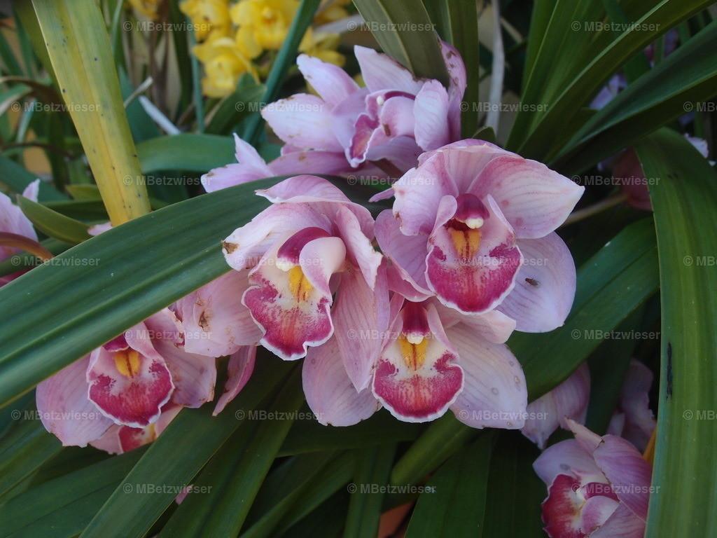 P2288011 | Die rosa blühende Orchidaceae