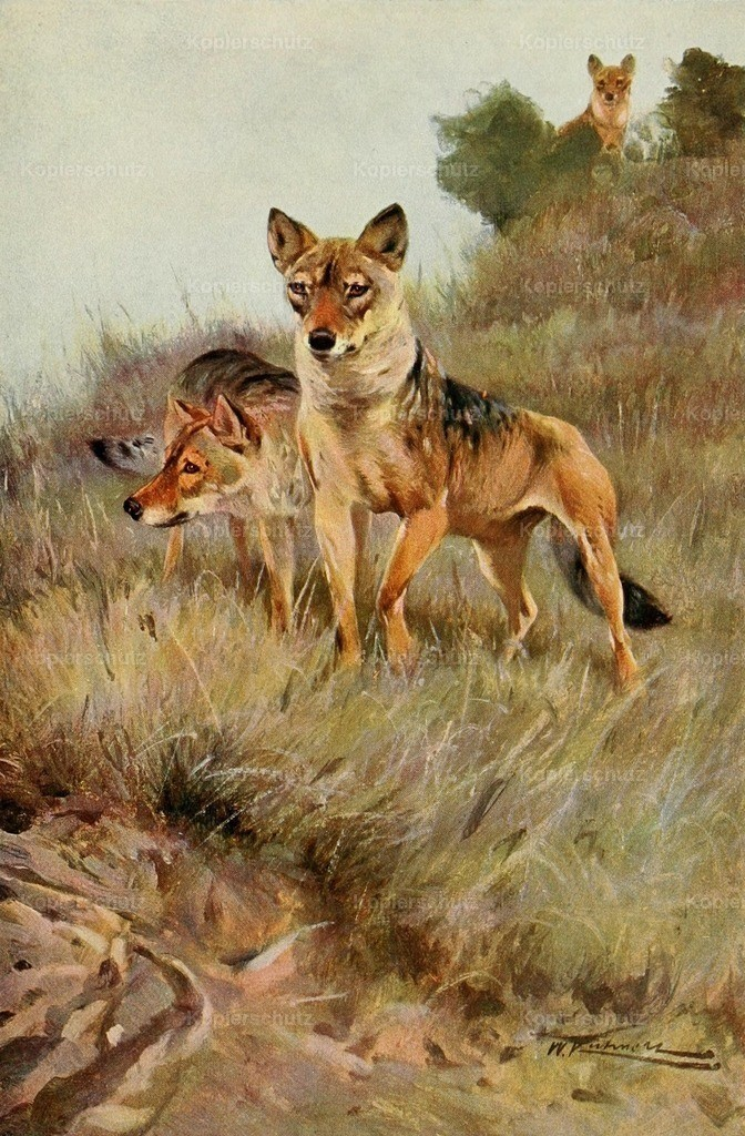 Kuhnert_ F.W. (1865-1926) - Wild Life of the World 1916 - Wolf