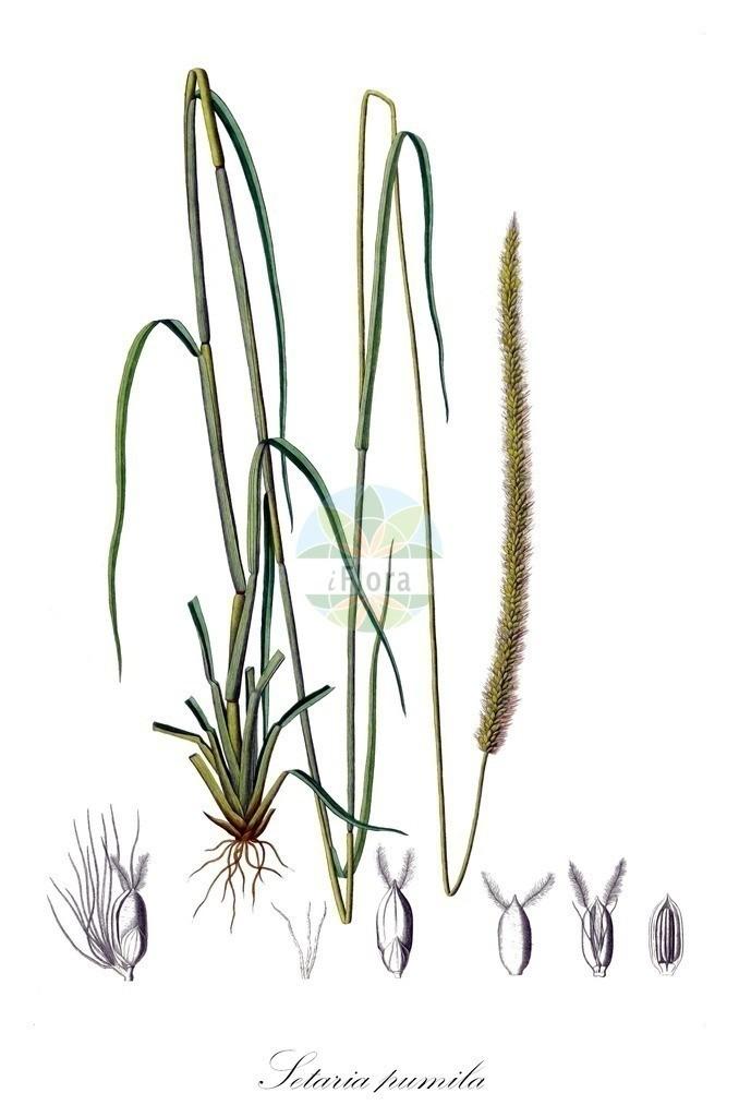 Historical drawing of Setaria pumila (Yellow Bristle-grass) | Historical drawing of Setaria pumila (Yellow Bristle-grass) showing leaf, flower, fruit, seed