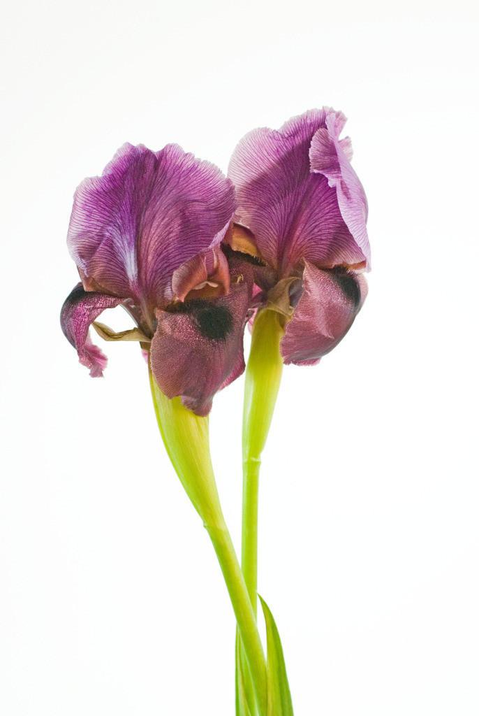 Best. Nr. partnerschaft08 | Iris