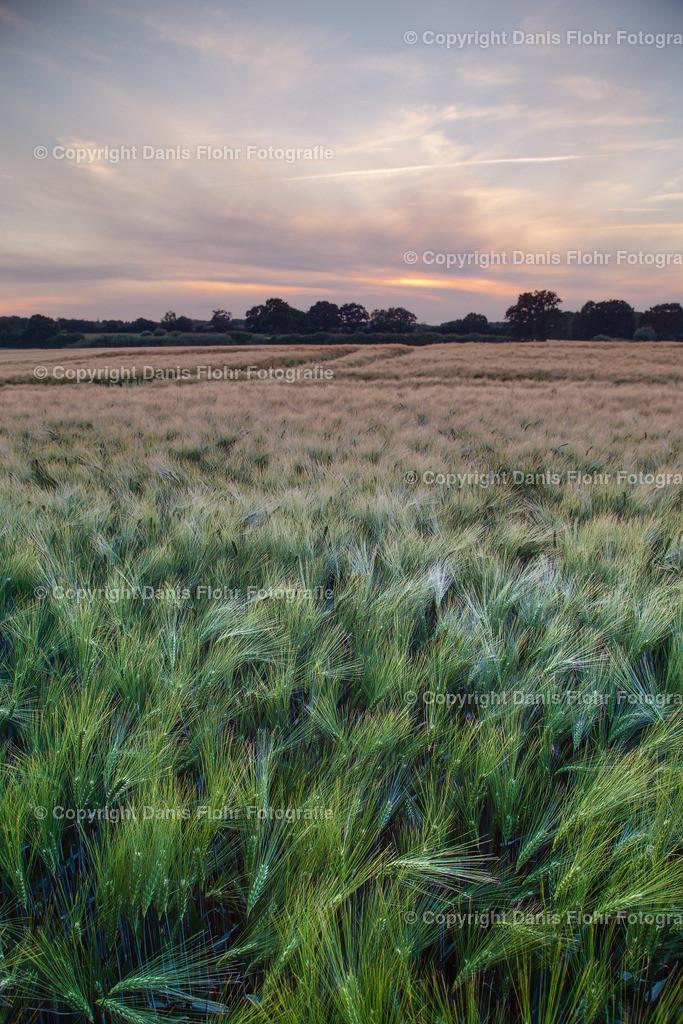Roggenfeld im Sonnenuntergang | Ein Roggenfeld im Sonnenuntergang