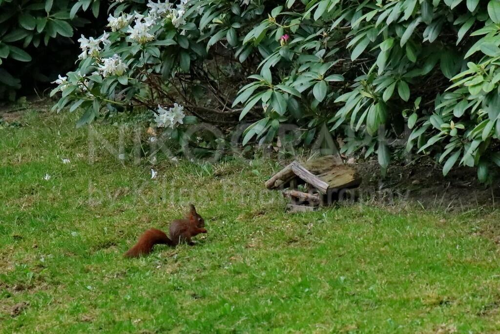 Eichhörnchen  | Eichhörnchen vor dem Futterhaus auf einer Wiese.