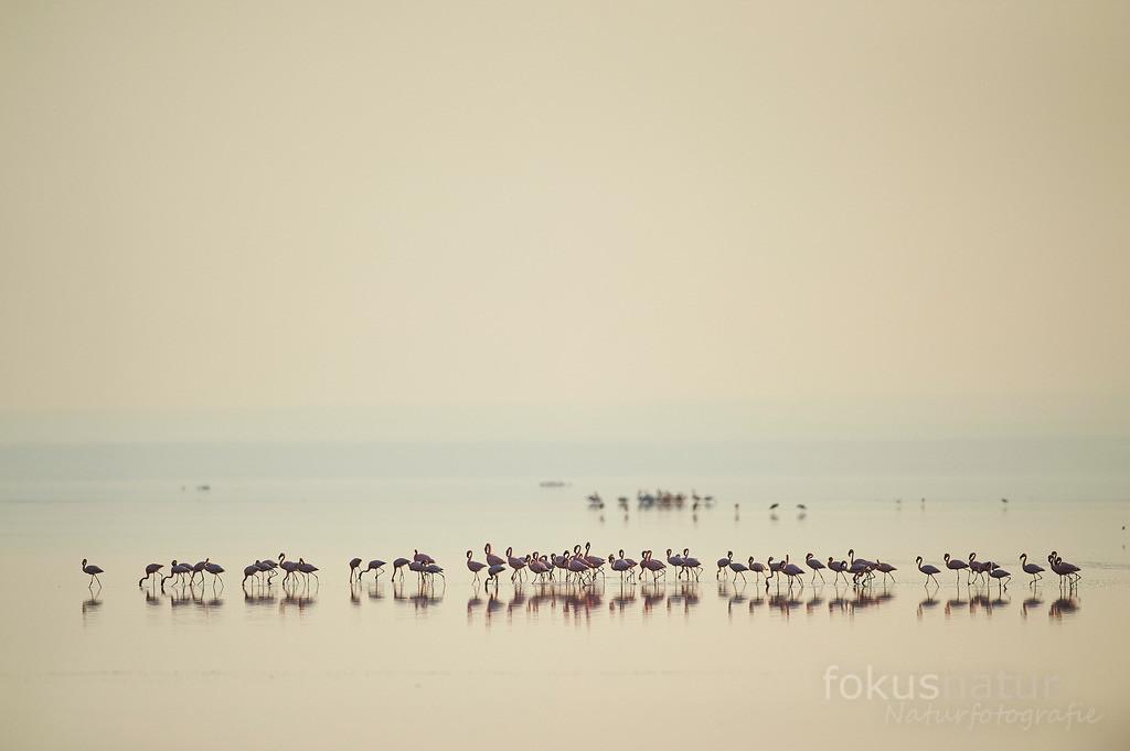 Flamingos | Zwergflamingos besiedeln zu hunderttausenden den Natronsee in Afrika.