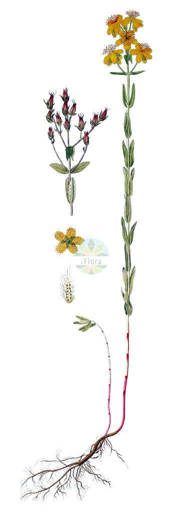 Hypericum barbatum | Historische Abbildung von Hypericum barbatum. Das Bild zeigt Blatt, Bluete, Frucht und Same. ---- Historical Drawing of Hypericum barbatum.The image is showing leaf, flower, fruit and seed.