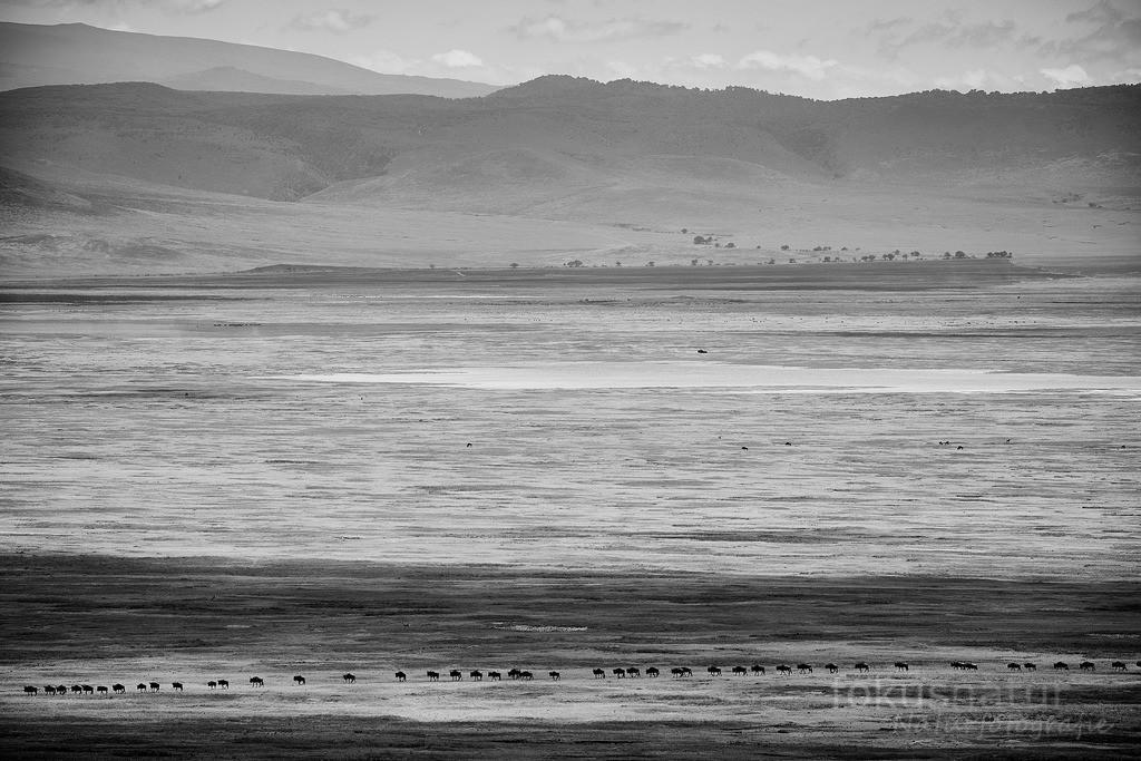 Great Migration | Die große Wanderung der Gnus im Ngorongoro Crater, Tanzania.