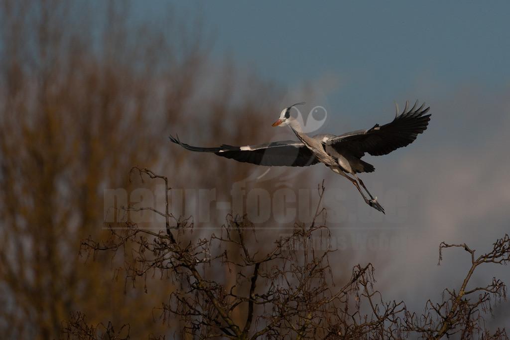 20080314_16370715784 | Der Graureiher ist in etwa 90 cm groß und wiegt zwischen 1000 und 3000 Gramm. Das Gefieder auf Stirn und Oberkopf ist weiß, am Hals grauweiß und auf dem Rücken aschgrau mit weißen Bändern. Er fliegt mit langsamen Flügelschlägen und zurückgezogenem Kopf.