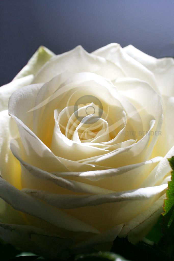 Weiße Rose 02