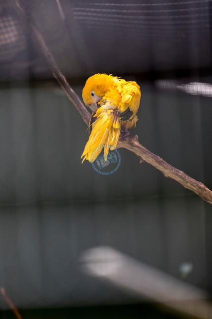 Singapur Jurong Bird Park gelber Papagei | SGP, Singapur, 20.02.2017, Singapur Jurong Bird Park gelber Papagei © 2017 Christoph Hermann, Bild-Kunst Urheber 707707, Gartenstraße 25, 70794 Filderstadt, 0711/6365685;   www.hermann-foto-design.de ; Contact: E-Mail ch@hermann-foto-design.de, fon: +49 711 636 56 85
