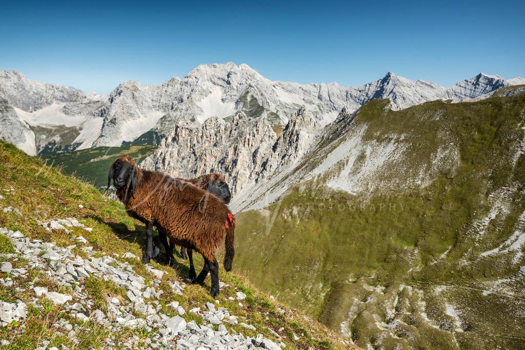 Karwendel | Schafe im Karwendel