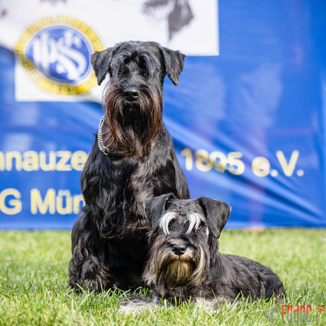 Ausstellung Pinscher Schnauzer Groebenzell | Ausstellung Pinscher-Schnauzer-Klub e.V. 82194 Groebenzell 27.07.2019 Foto: Leo Wyden