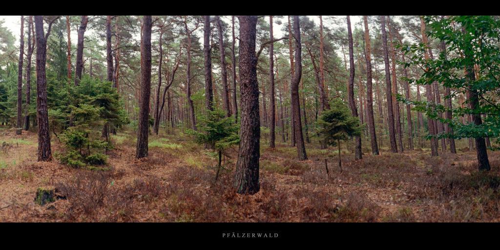 Pfälzerwald | Kiefernwald im Pfälzerwald