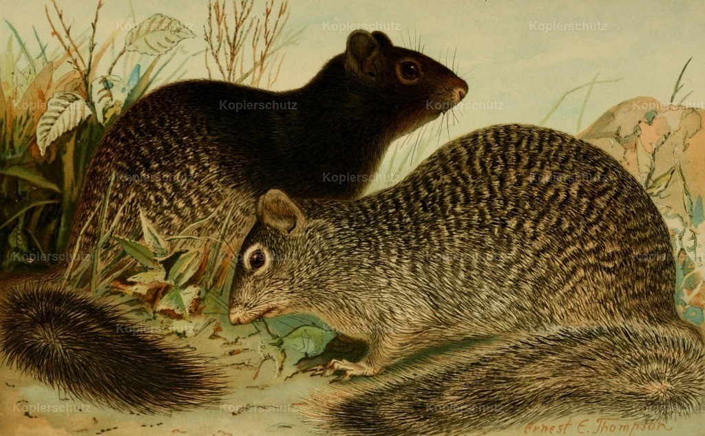 Thompson_ E.E. (1860-1946) - North American Fauna 1938 - Rock Squirrels