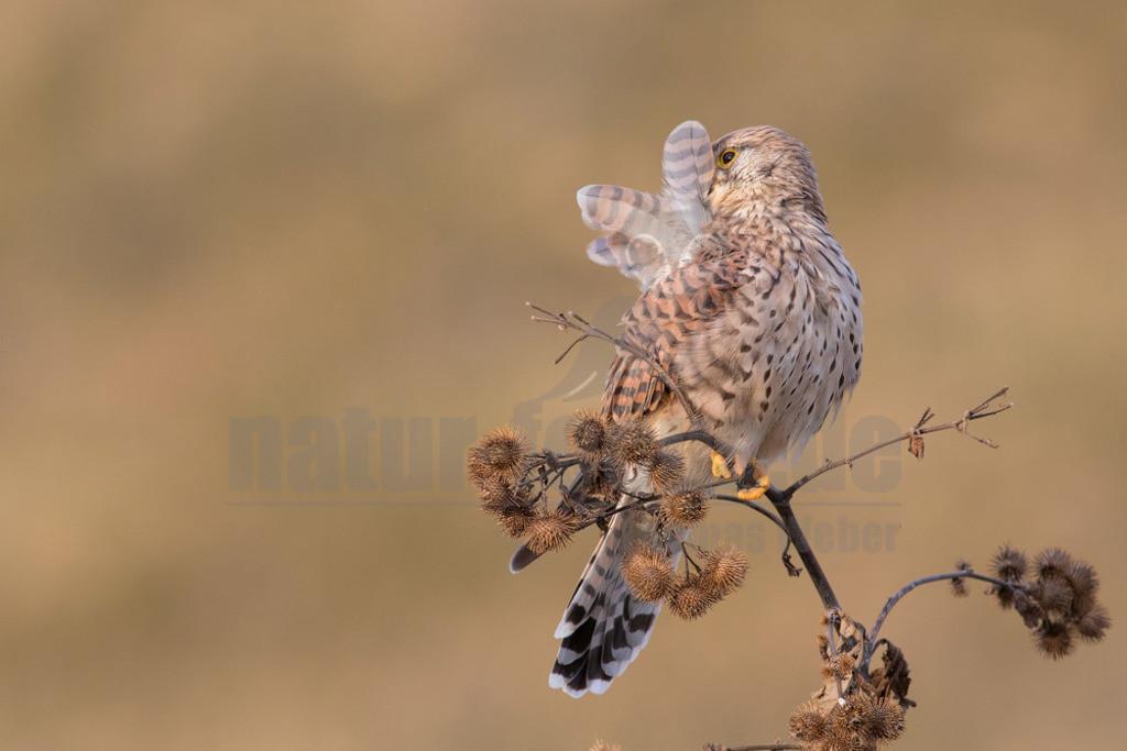 20180916-663A1850 Kopie | Der Turmfalke (Falco tinnunculus) ist der häufigste Falke in Mitteleuropa. Vielen ist der Turmfalke vertraut, da er sich auch Städte als Lebensraum erobert hat und oft beim Rüttelflug zu beobachten ist. Hier ist ein Weibchen bei der Gefiederpflege zu sehen.
