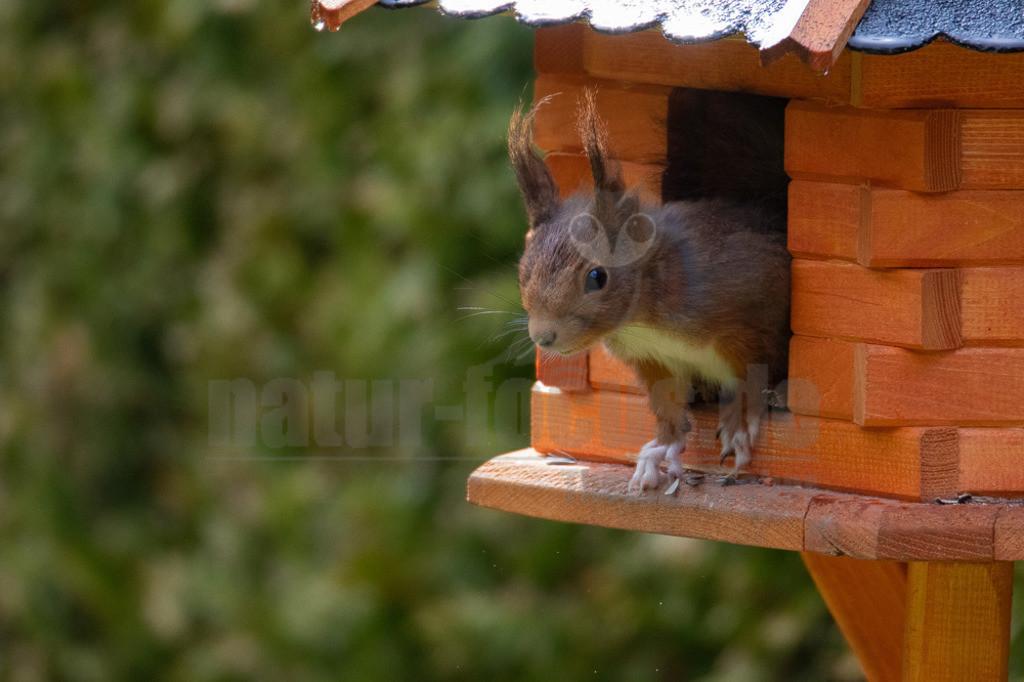 20160424-IMG_3280 Kopie   Das Eichhörnchen (Sciurus vulgaris), regional auch Eichkätzchen, Eichkatz(er)l, Eichkater oder niederdeutsch Katteker, ist ein Nagetier aus der Familie der Hörnchen (Sciuridae). Es ist der einzige natürlich in Mitteleuropa vorkommende Vertreter aus der Gattung der Eichhörnchen und wird zur Unterscheidung von anderen Arten wie dem Kaukasischen Eichhörnchen und dem in Europa eingebürgerten Grauhörnchen auch als Europäisches Eichhörnchen bezeichnet.