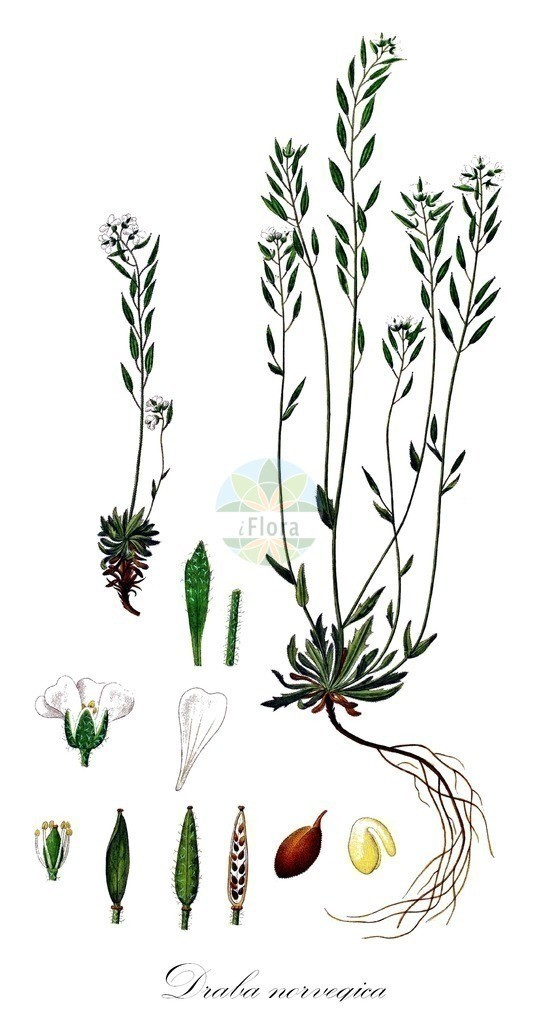Historical drawing of Draba norvegica (Whitlowgrass) | Historical drawing of Draba norvegica (Whitlowgrass) showing leaf, flower, fruit, seed