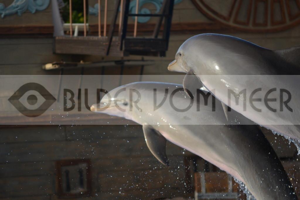 Delfin Bilder | Foto springende Delfine