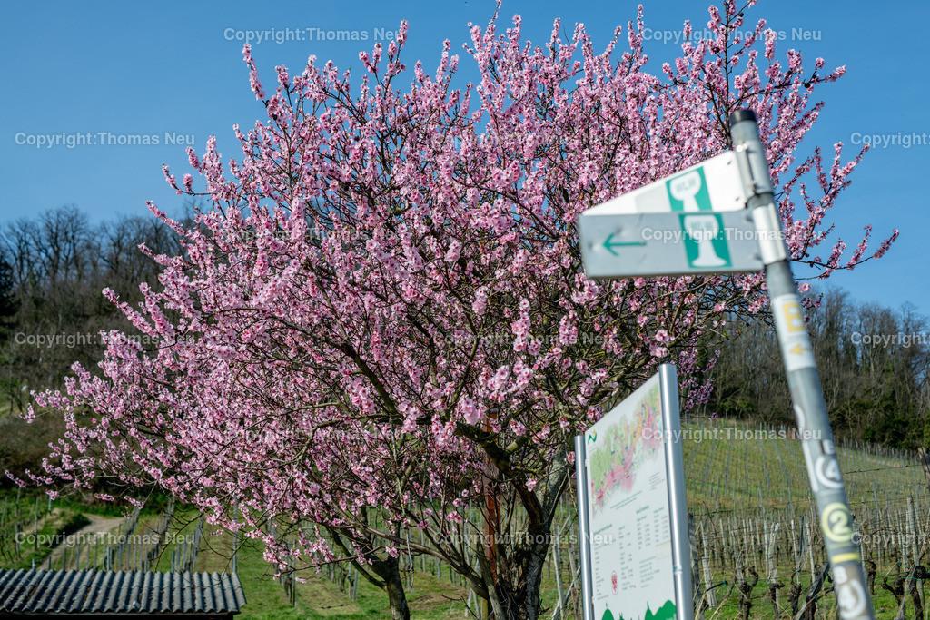 DSC_4799 | Bensheim, Weinberge zwischen Bensheim und Heppenheim, es ist die schönste Jahreszeit an der Bergstraße, die Mandelblüte verzaubert, die Weinberge laden zum bei warmen Tepmeraturen zum Spaziergang ein,  Bild: Thomas Neu