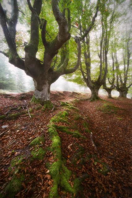Alte Buchen im Nebel | Die Wurzeln dieser alten Buchen scheinen einer Linie zu folgen. Ein wenig Licht kämpft sich durch den feuchten Nebel und schafft eine unheimliche Atmosphäre. Der Wald lebt.