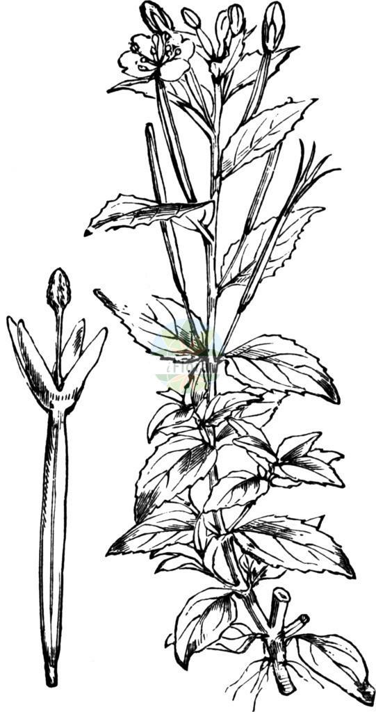 Epilobium alsinifolium (Mierenblaettriges Weidenroeschen - Chickweed Willowherb)   Historische Abbildung von Epilobium alsinifolium (Mierenblaettriges Weidenroeschen - Chickweed Willowherb). Das Bild zeigt Blatt, Bluete, Frucht und Same. ---- Historical Drawing of Epilobium alsinifolium (Mierenblaettriges Weidenroeschen - Chickweed Willowherb).The image is showing leaf, flower, fruit and seed.