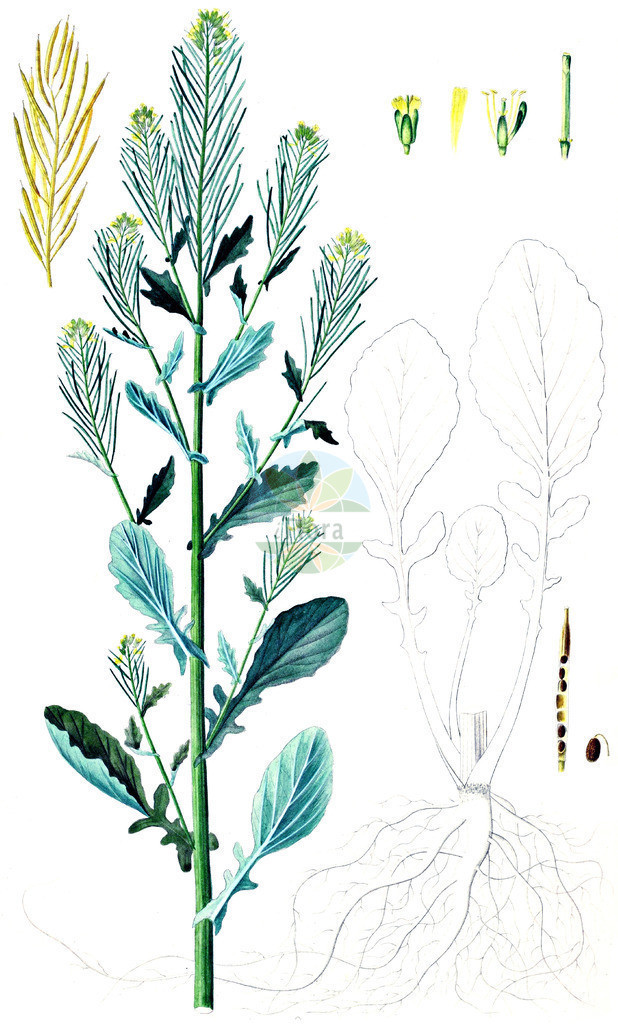Barbarea stricta (Steifes Barbarakraut - Small-flowered Winter-Cress) | Historische Abbildung von Barbarea stricta (Steifes Barbarakraut - Small-flowered Winter-Cress). Das Bild zeigt Blatt, Bluete, Frucht und Same. ---- Historical Drawing of Barbarea stricta (Steifes Barbarakraut - Small-flowered Winter-Cress).The image is showing leaf, flower, fruit and seed.