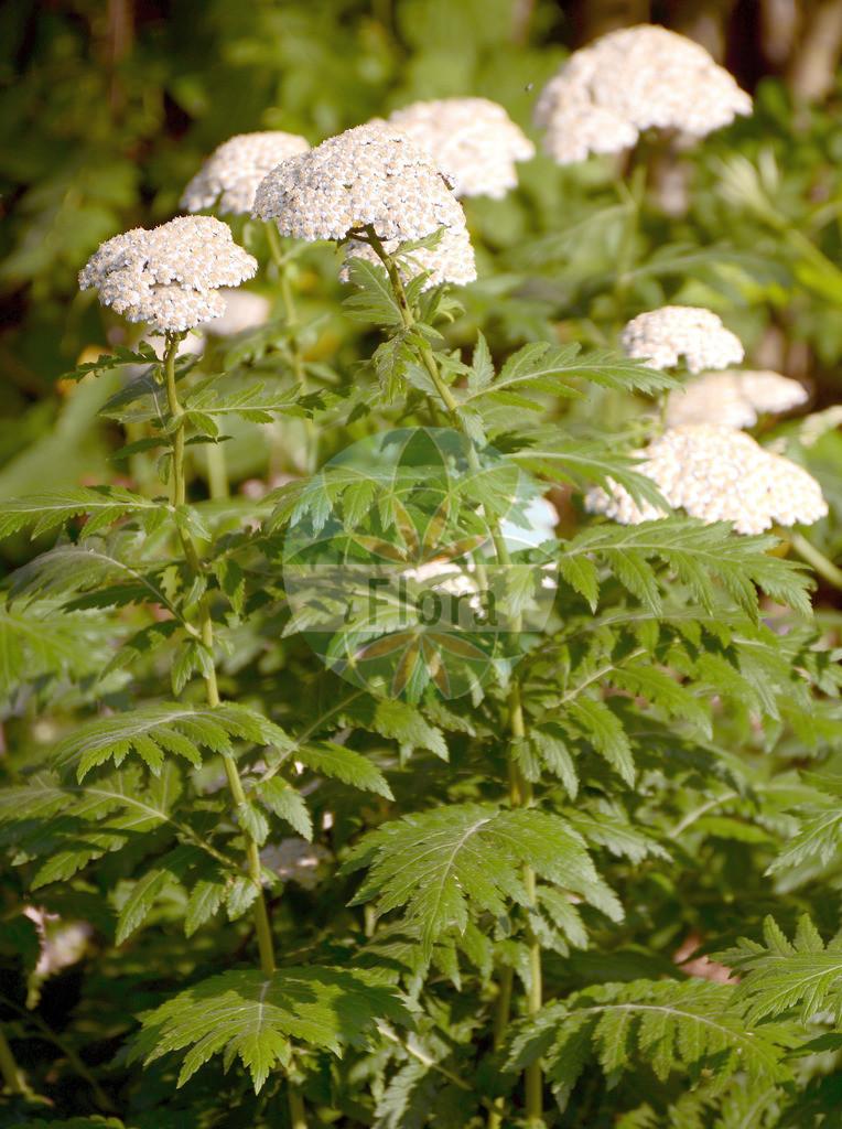Achillea macrophylla (Grossblaettrige Schafgarbe - Large-leaved Sneezewort) | Foto von Achillea macrophylla (Grossblaettrige Schafgarbe - Large-leaved Sneezewort). Das Foto wurde in aufgenommen. ---- Photo of Achillea macrophylla (Grossblaettrige Schafgarbe - Large-leaved Sneezewort).The picture was taken in .